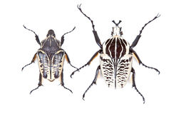 Black and white beetle Goliathus albosignathus Stock Photos