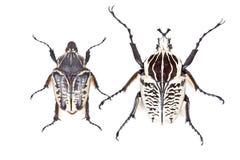 Black and white beetle Goliathus albosignathus Stock Photos
