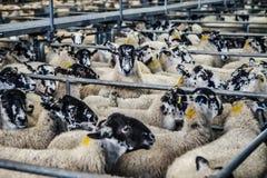 Black White and Beige Sheep Stock Photo