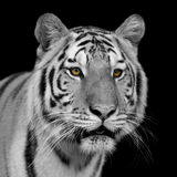 Black and white Bengal tiger Stock Photo