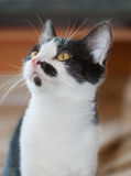 Black and White Bicolour Kitten Stock Photo