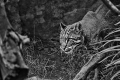 Black and white big cat Stock Images