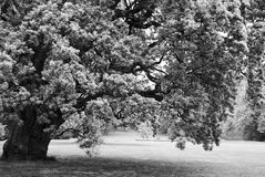 Black and white big lonely oak tree Stock Images