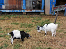 Black and White Billy Goats Stock Images
