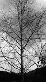 Black and white birch. Stock Photo