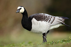 Black and white bird Barnacle Goose, Branta leucopsis, France Stock Image