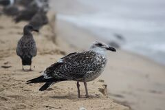 Black and White Bird on Brown Sand royalty free stock photo
