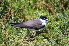 Black and white bird. In a bush Royalty Free Stock Photos