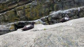 Black and white bird on grey rock with bird poop. Black and white bird on grey rock or boulder with bird poop royalty free stock photos