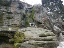 Black and white bird on grey rock with bird poop. Black and white bird on grey rock or boulder with bird poop royalty free stock photography