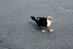 Black and white bird with a red beak   Stock Image