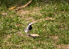 Black and white bird. On spring grass Royalty Free Stock Image