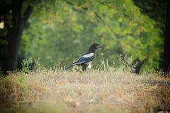 Black and white bird Stock Photos