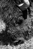 Black and White Bison Face Royalty Free Stock Photo