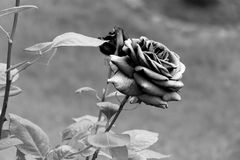 Black and White - Blooming rose blossom with opening petals - Garden flowers. Closeup of a rose with dense and big open petals - graphic brush design royalty free stock image
