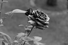 Black and white - Blooming rose with opening petals - Garden flowers, blossoms royalty free stock photo