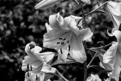 Black and white blossoming lilium flower. Lilium & x28;members of which are true lilies& x29; is a genus of herbaceous flowering plants growing from bulbs, all Royalty Free Stock Images