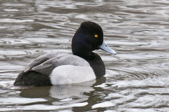 Lesser Scaup Drake. A single Lesser Scaup drake  Aythya Affinis Stock Image