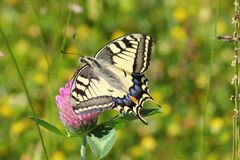 Black White and Blue Butterfly on Pink Flower Royalty Free Stock Photography