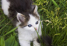 Black and white blue-eyed kitten playing in the green grass Royalty Free Stock Images