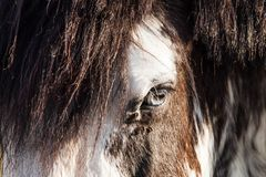 Black and White Blue Eyes Horse on a Sunny Summer Day stock photo
