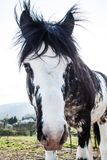 Black and White Blue Eyes Horse on a Sunny Summer Day royalty free stock photos