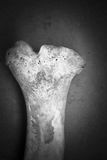 Black And White Bone Royalty Free Stock Photography