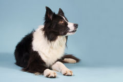 Black and white Border collie. On a blue background Royalty Free Stock Photography