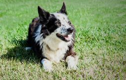 Black and White Border Collie royalty free stock photo