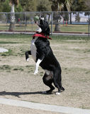 Black and white border collie catching a ball. A black and white border collie just about ready to catch a ball in mid-air at the park stock image