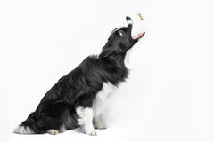 Black and white border collie catching the cookie Stock Photo