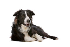Black and White Border Collie Stock Images