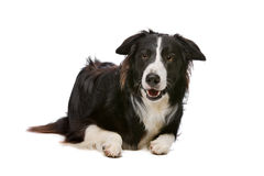 Black and White Border Collie Royalty Free Stock Photography