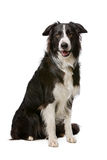 Black and White Border Collie Stock Image
