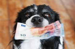 Black and White Border Collie with Euro Banknotes. Cute Dog Holding Money in Mouth royalty free stock photo