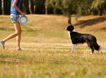 Black and white Border Collie Frisbee. Canine sports. Stock Image
