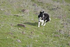 Border Collie Running in a Meadow Rounding up Sheep stock photography