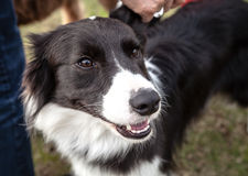 Black and White Border Collie Looks Up Affectionately. Cute black and white border collie dog looks up affectionately standing by her owner's leg Royalty Free Stock Photo