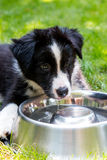 Black and white border collie puppy with bowl Stock Images