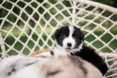 Black and white border collie puppy in a hammock stock photography