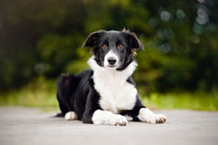 Black and white Border Collie puppy Stock Photo
