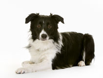 Black and white border collie Royalty Free Stock Images