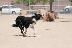 Border collie running through the park Royalty Free Stock Images