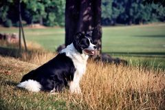 Black and white border collie sitting in field stock photos