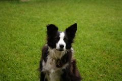 Black and white Border Collie sitting on the front lawn stock photo