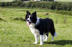 Black and white border collie in field royalty free stock photos