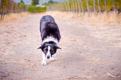 Black and white border collie standing in vineyard waiting to catch stick royalty free stock photos