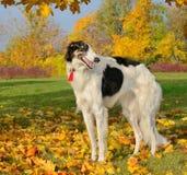 Black and white borzoi. Black and white russian borzoi standing on yellow autumn leaves Stock Photos