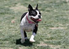 Black and white Boston Terrier at the park. Black and white Boston Terrier dog at the park running on the grass stock image