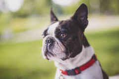 Black and white Boston Terrier wearing a red harness. A black and white Boston Terrier wearing a red harness Royalty Free Stock Image